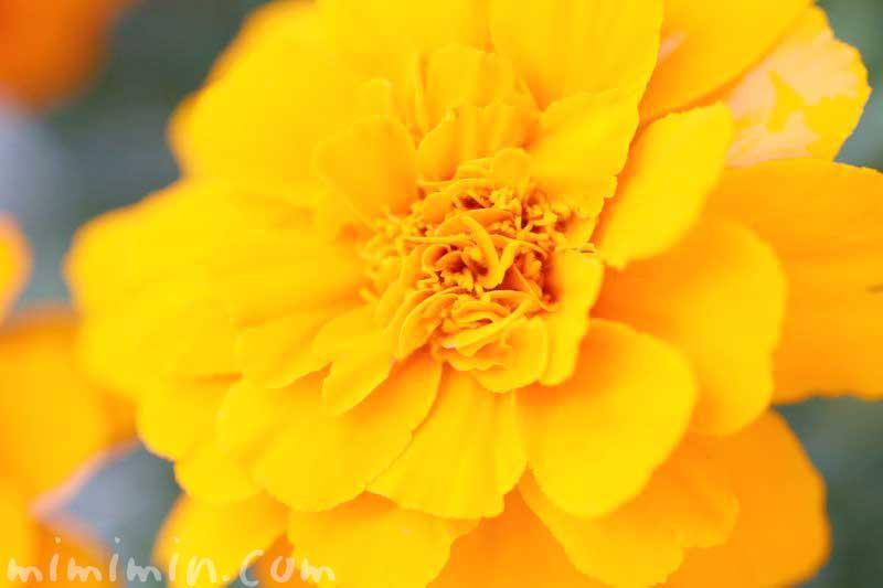 マリーゴールド(オレンジ色)の花の写真 花言葉