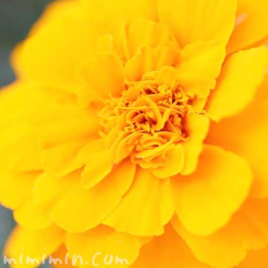 マリーゴールド(オレンジ色)の花言葉の画像