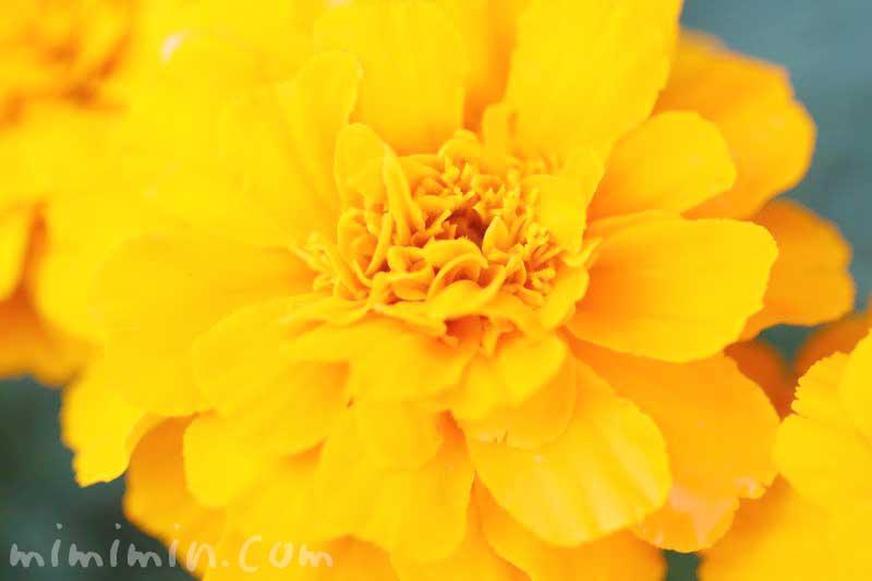 マリーゴールド(オレンジ色)の花の写真と花言葉の画像