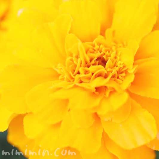 オレンジ色 マリーゴールドの花言葉