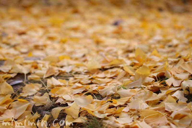 銀杏の落葉の画像