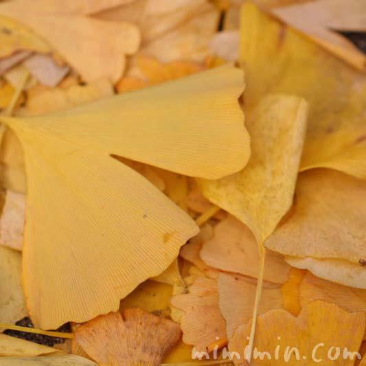 紅葉したイチョウの落葉の写真