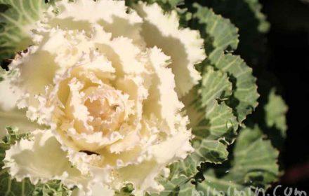 ハボタンの花言葉の画像