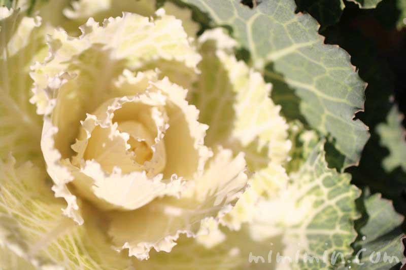 葉牡丹の花言葉の画像