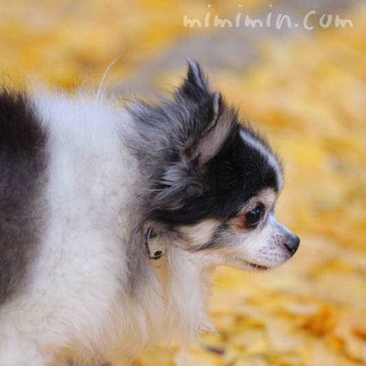 イチョウの落葉と犬の画像