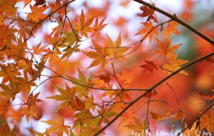 モミジ・カエデの紅葉の画像