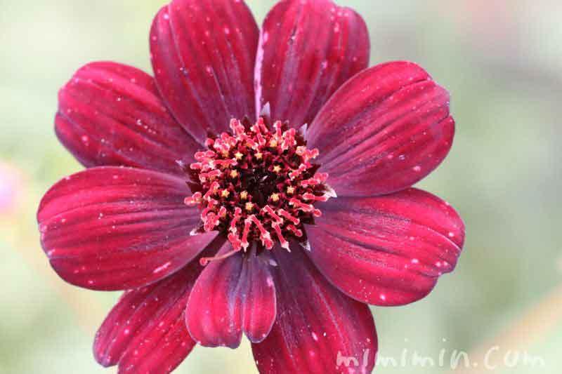 チョコレートコスモスの花言葉の画像