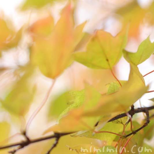 トウカエデの葉の画像