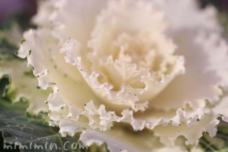 白いハボタン・花言葉の写真