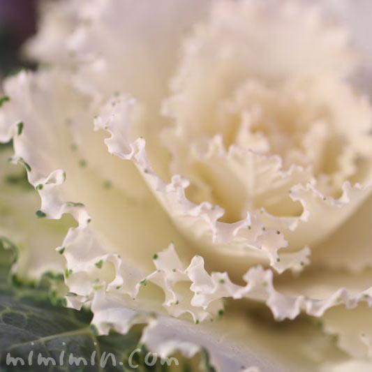 ハボタン 花言葉の画像