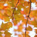 唐楓の紅葉の画像