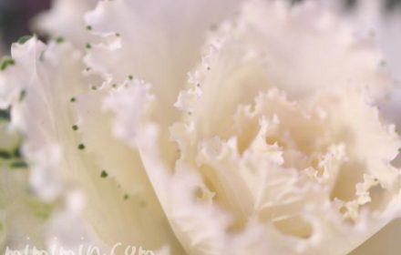 ハボタン・誕生花の画像