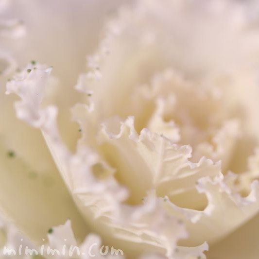 白い葉牡丹・花言葉の画像