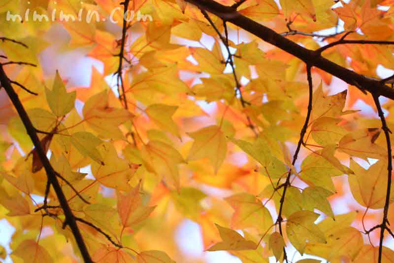 トウカエデの紅葉の写真