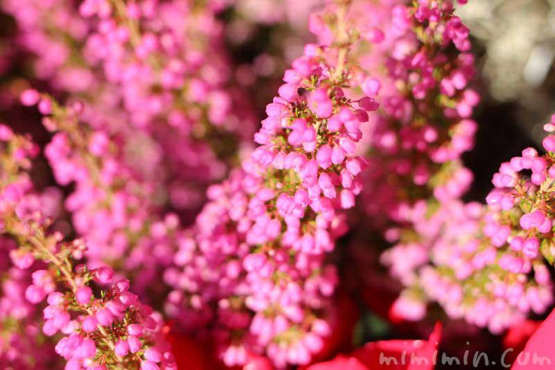ピンク色のエリカの写真 花言葉の画像