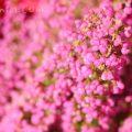 ピンク色のエリカの花の写真 花言葉