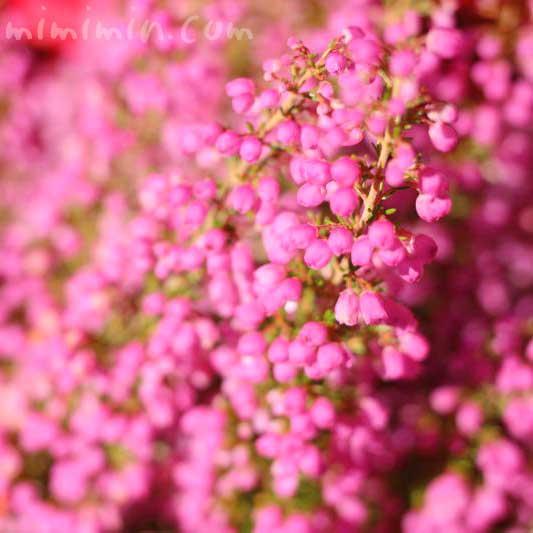 ピンク色のエリカの花の写真と花言葉の画像