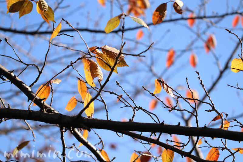 桜の枯れ葉の写真