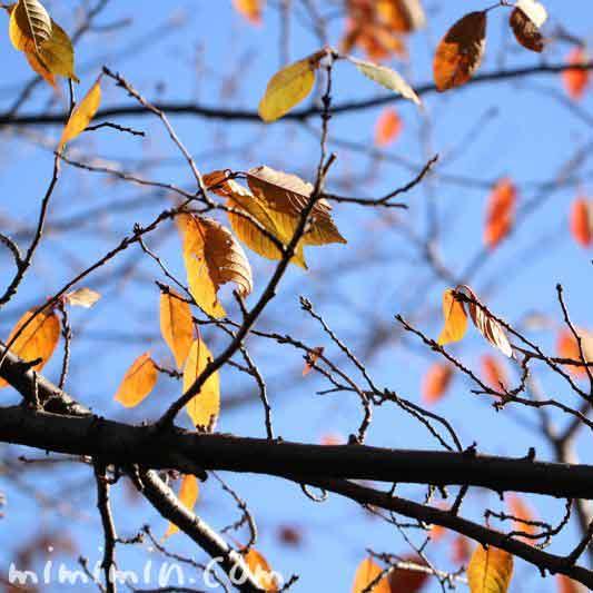 枯れ葉・目黒川の桜の写真