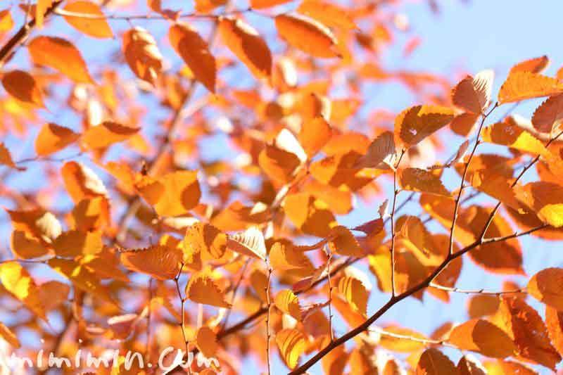 オレンジ色の紅葉の画像