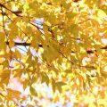 黄葉したトウカエデの画像