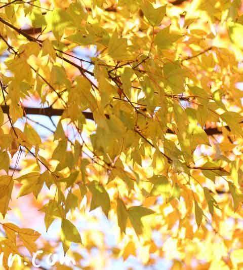 トウカエデの紅葉(黄葉)の写真・花言葉