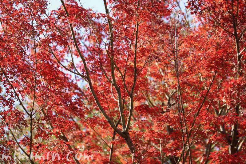 紅葉したモミジの写真・モミジの花言葉・誕生花の画像