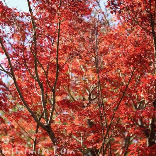 紅葉したモミジの写真・花言葉・誕生花の画像