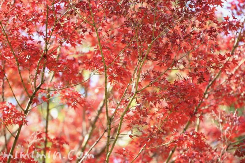 紅葉したモミジの写真・モミジの花言葉&名前の由来