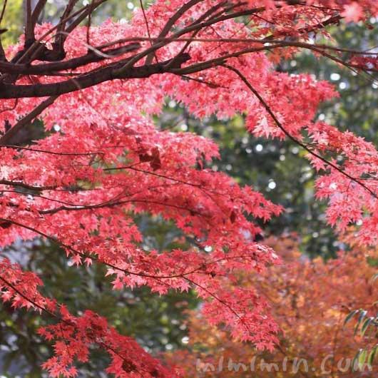 紅葉したモミジの写真と花言葉