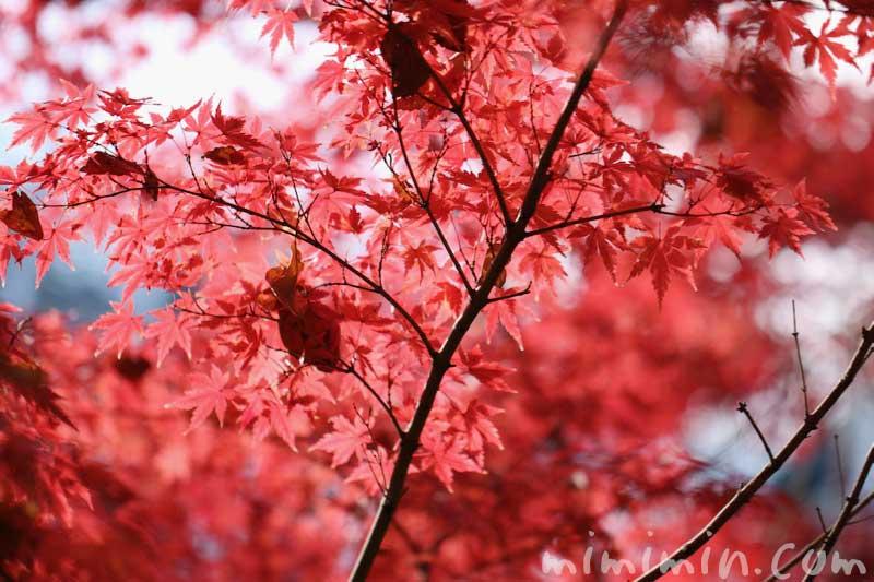 紅葉したモミジの写真・モミジの花言葉・名前の由来の画像