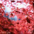 紅葉したモミジの写真の画像
