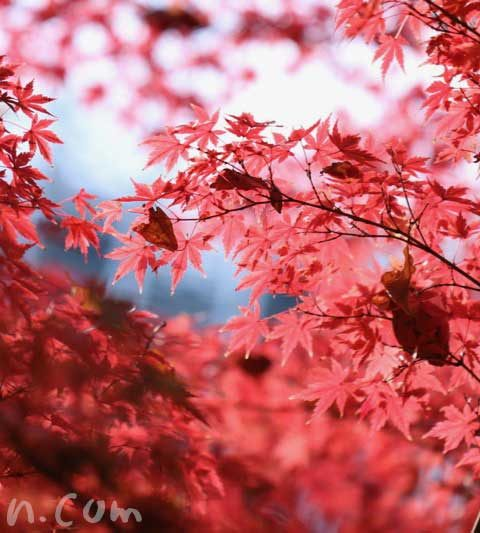 モミジの花言葉・名前の由来・紅葉したモミジの写真