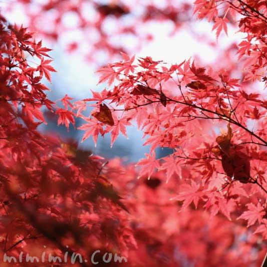 紅葉したモミジの写真・モミジの花言葉と誕生花