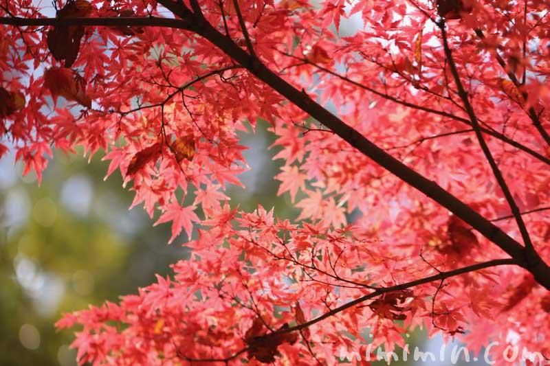 紅葉したモミジの写真&モミジの花言葉