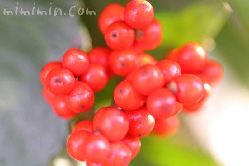 センリョウ・赤い実の画像