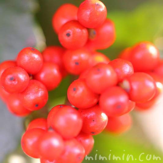 センリョウ(千両)・赤い実の写真