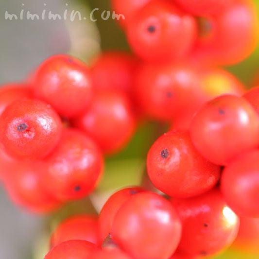 赤いセンリョウの実の写真
