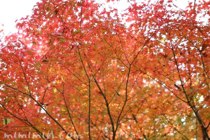 紅葉したモミジの写真・モミジの花言葉の画像