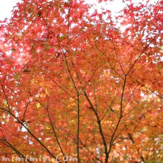 紅葉したモミジの写真・花言葉の画像