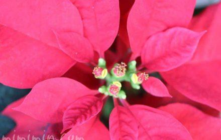 ポインセチア 花言葉の写真