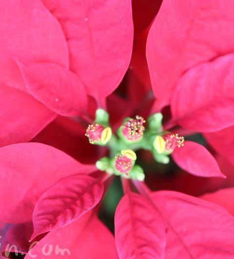 ポインセチアの花の写真・花言葉・名前の由来