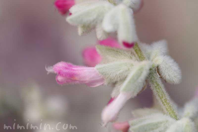 ピンク色のサルビア・レウカンサの花の写真