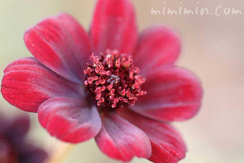 チョコレートコスモスの誕生花の画像