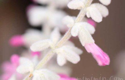 サルビア・レウカンサ(ピンク)の画像