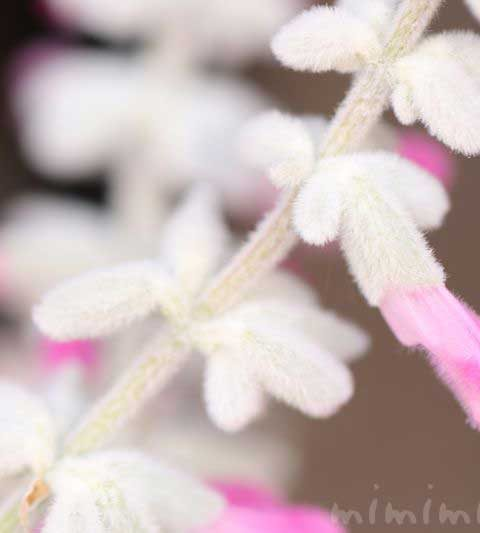 サルビア・レウカンサの写真&花言葉(別名 メキシカンブッシュセージ)
