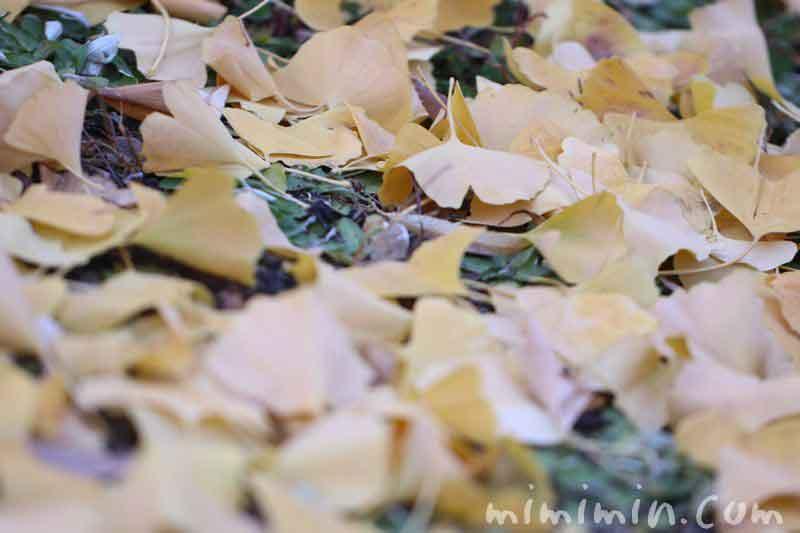 イチョウの落葉の画像