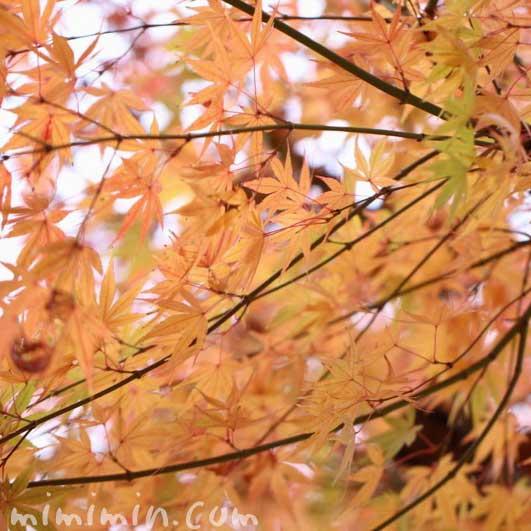 紅葉の花言葉・誕生花の画像