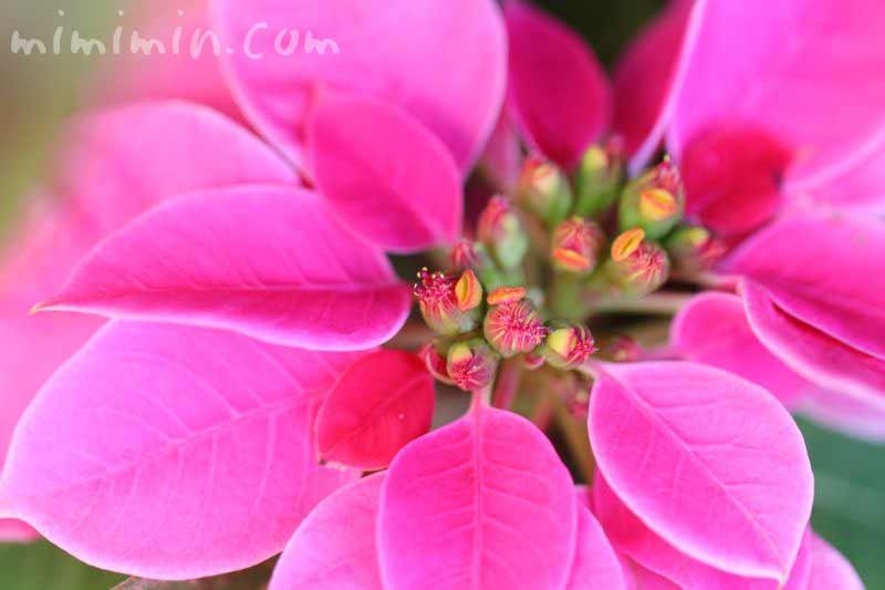 ピンク色のポインセチアの写真