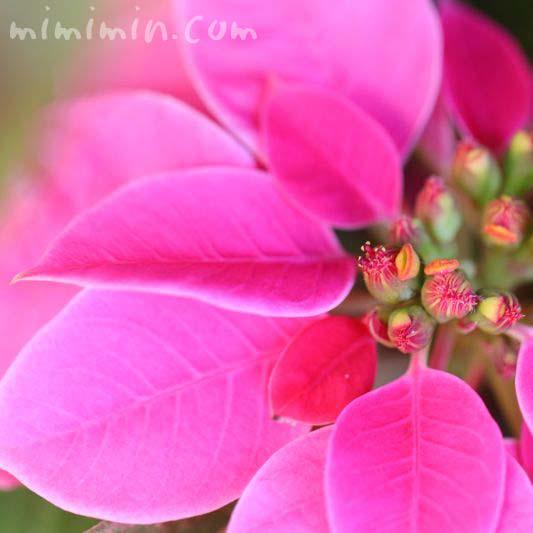 ポインセチア ピンクの画像